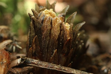 Rare parasitic plant coming to the capital - Media Release